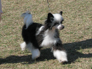 N'co Chinese Cresteds Bred By Belews Chinese...