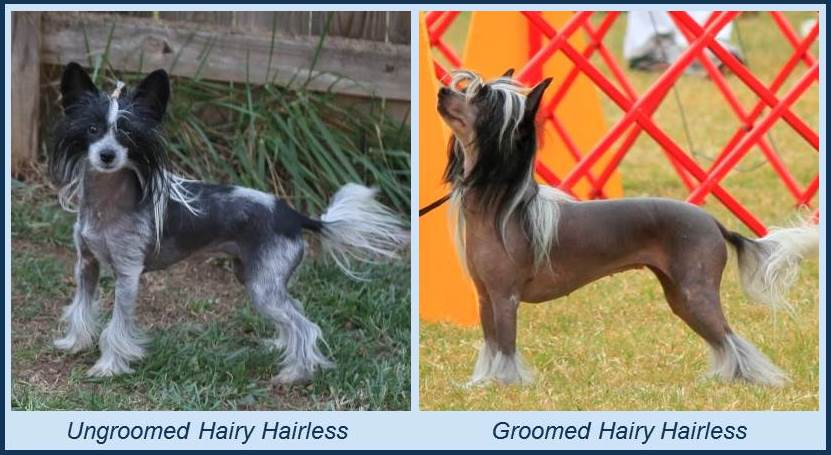 About The Chinese Crested Dog