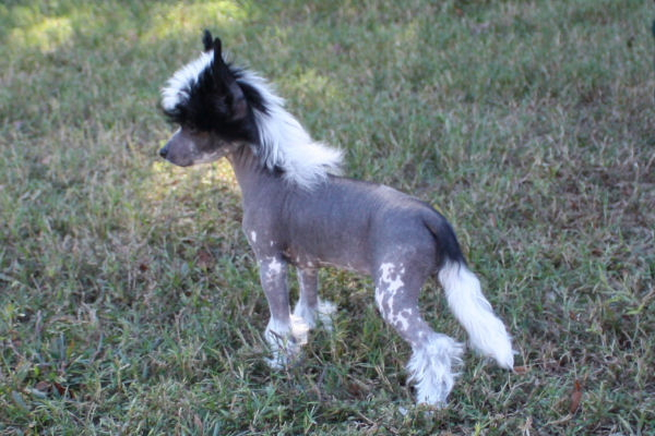 Beautiful Hairless Chinese Crested