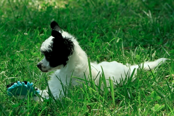 powderpuff chinese crested for sale